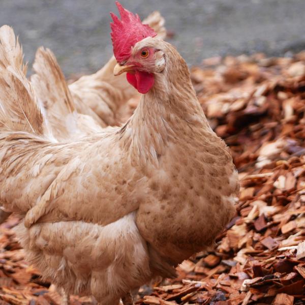 Buy Chicken Run Wood Chips | BARK UK Online